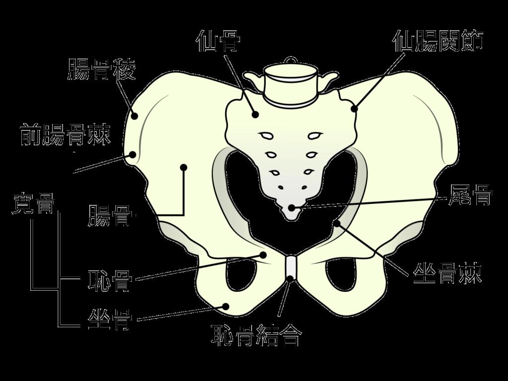 骨盤の説明