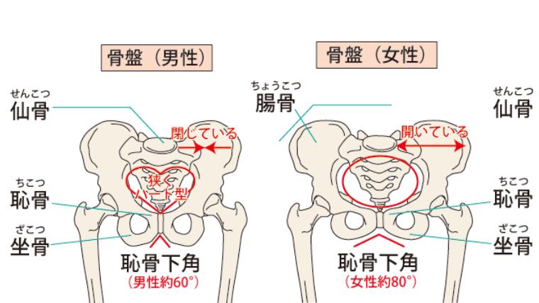 骨盤の男女の比較