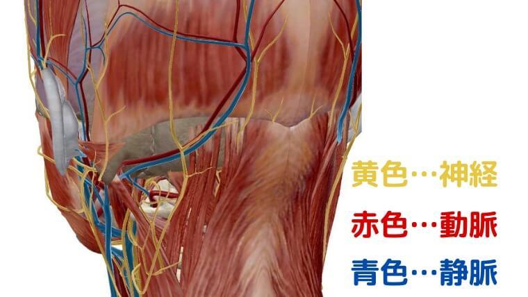 後頚部(k筋・血管・神経)