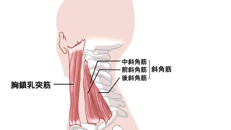 筋の付着部(首)